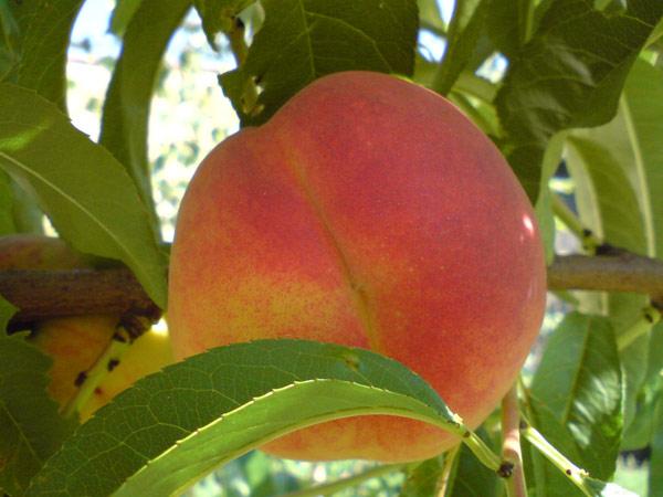 arbol-fruta-melocoton