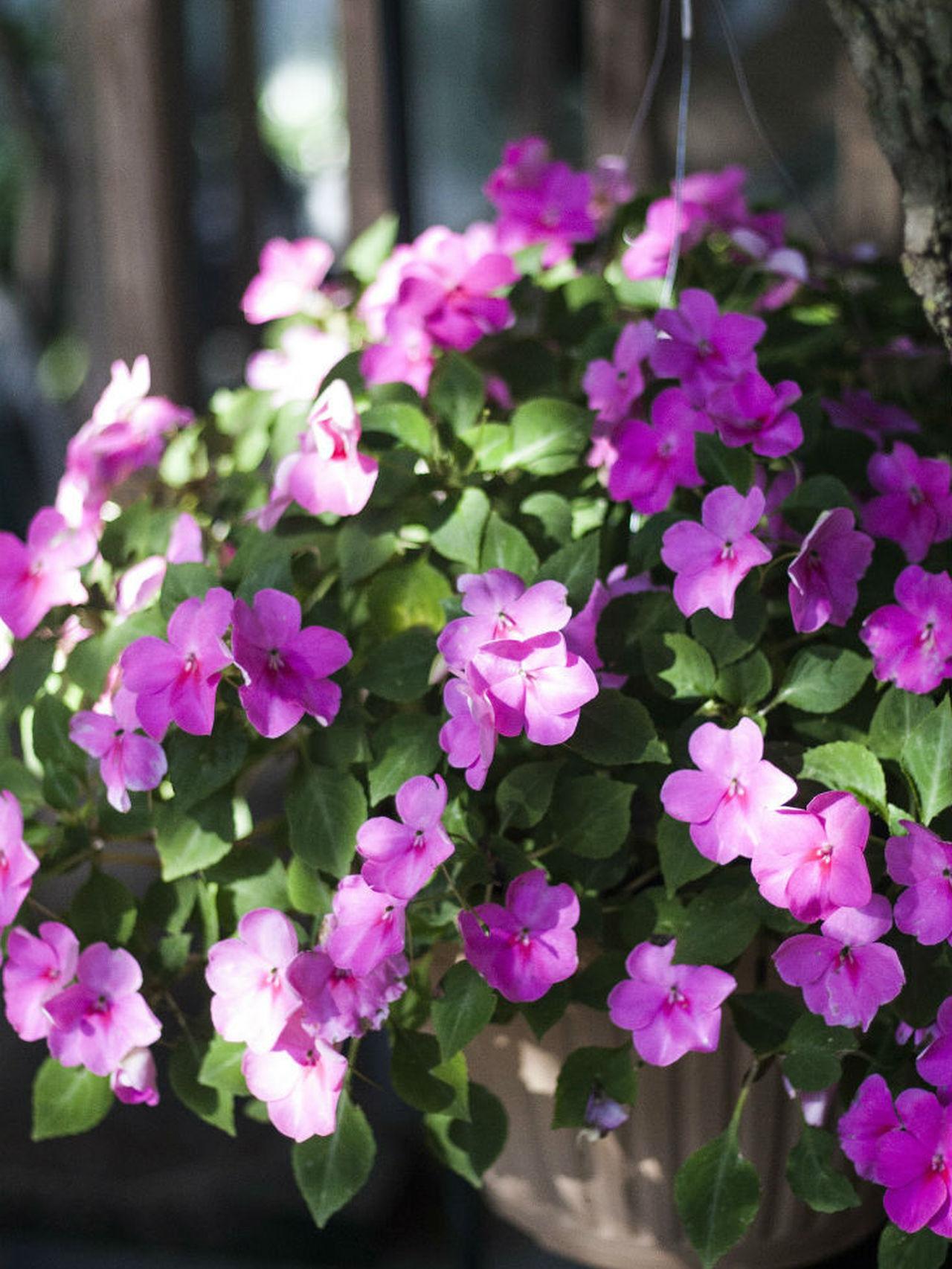 Flores Colgantes Para Balcones Y Terrazas Viveros Luis Moreno