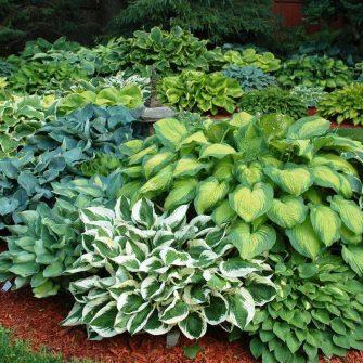 hostas o hermosas plantas